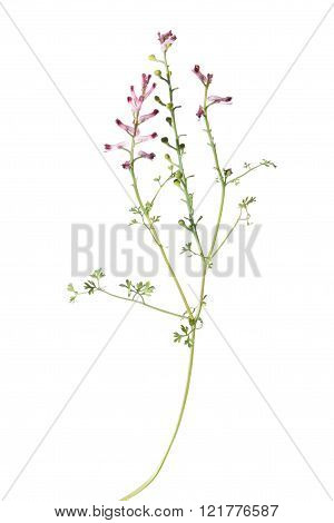 Common Fumitory plant isolated on white background