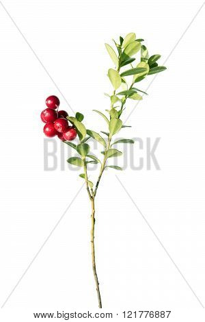 Cowberry plant isolated on white