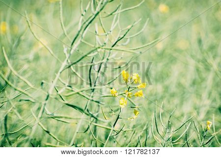 Rapeseed Field, Detailed Agricultural Photo, Spring Time