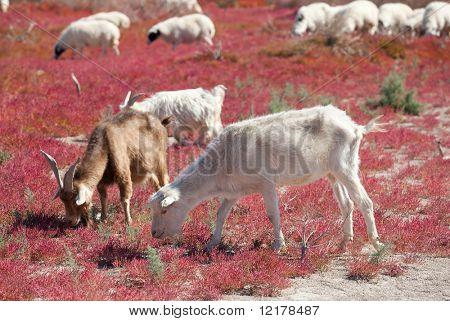Some goat