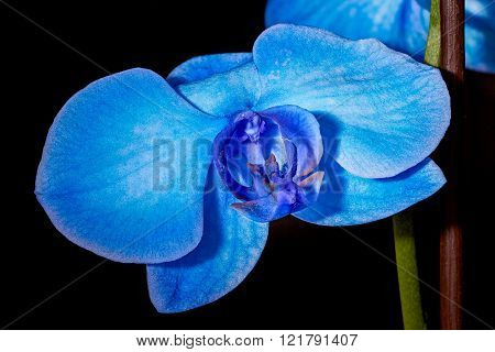Blue orchid flower