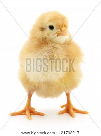 Small Yellow Chicken