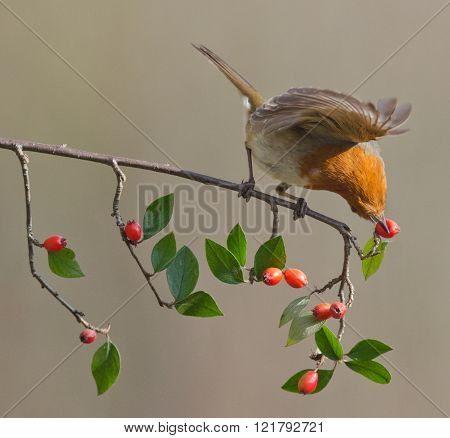 Robin twisting a berry off the branch