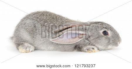 Grey Bunny Rabbit.
