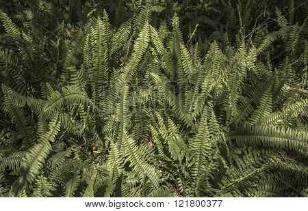 Field of Fern