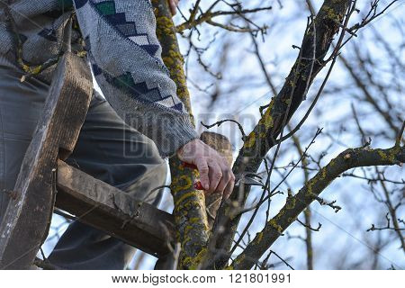 Pruning Of Trees With Secateurs In The Garden. Man Climbed On A Ladder Cleaning Fruit Trees Of Dead