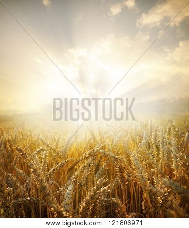 Wheat field.Yellow wheat ears field background