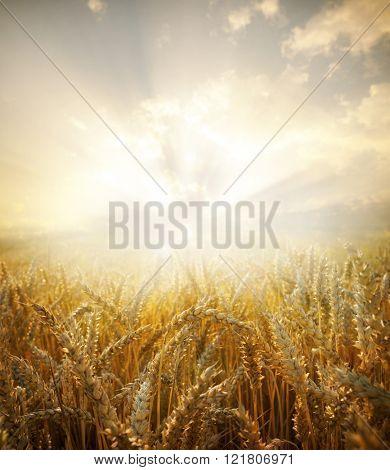 Wheat field.Yellow wheat ears field background