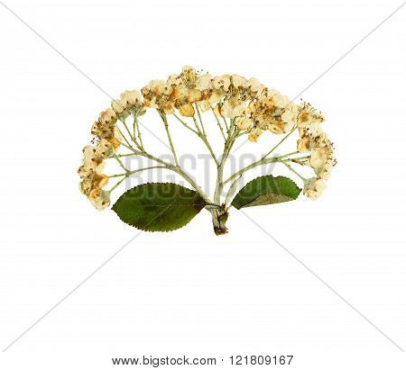 Pressed And Dried Flower Sorbus Aria Or Rowan Rotundifolia