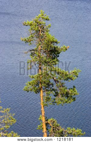 Lonely Pine
