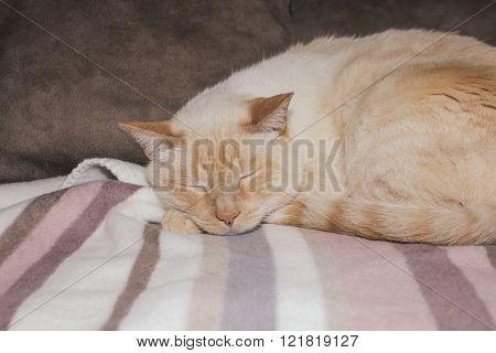 Light Ginger Cat Sleeping On Plaid