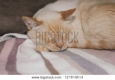 Ginger Cat Sleeping On Plaid