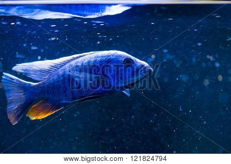 a blue fish family cichlid fishes close up