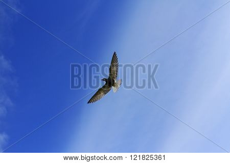 Black Tern In Flight Against The Backdrop Of Magnificent Sky