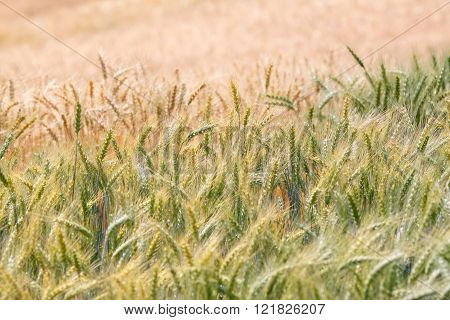 Premature and mature wheat plant in the field