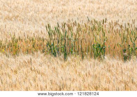 Premature and mature wheat plant in wheat field