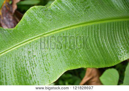 Banana leaf with raindrops