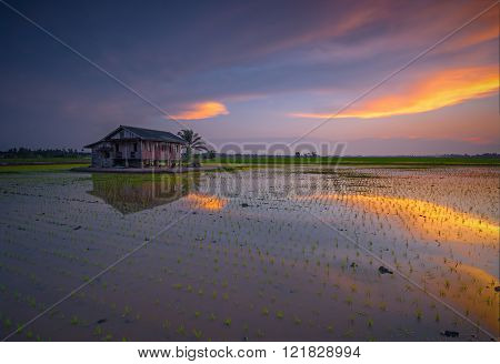 Dramatic Sunset With Vibrant Color Sky Over Paddy Field,malaysia.slightly Noise And Soft Focus.