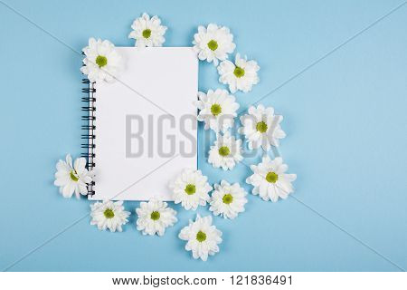 Chrysanthemums flowers. White flowers on a bright blue background