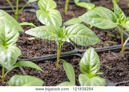 Fresh Peppers Seedling