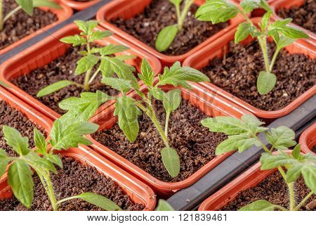 Fresh Tomato Seedling