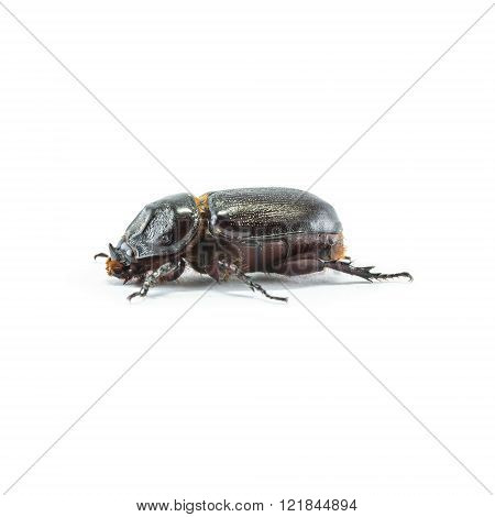 Closeup Rhinoceros Beetle Isolated On White Background