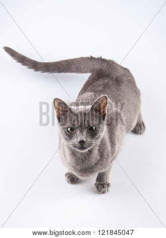 Russian blue cat over white backgorund