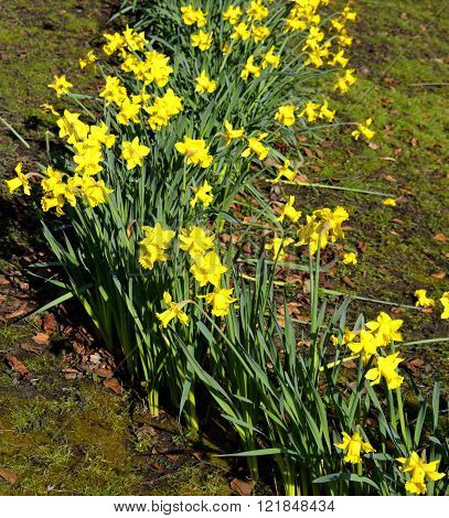 Daffodils Latin name Narcissus February Gold
