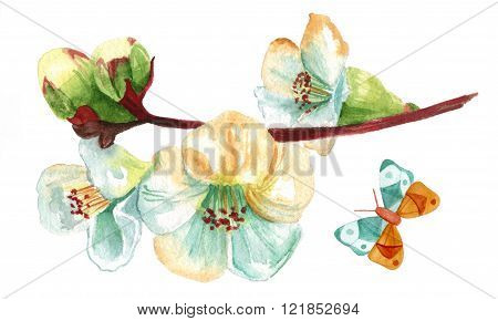 Vintage Style Watercolor Drawing Of White Flowering Quince With Butterfly