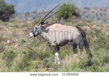 An oryx Oryx gazella in the Mountain Zebra National Park near Cradock in South Africa