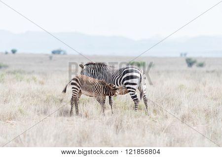 A mountain zebra foal Equus zebra zebra suckling in the Mountain Zebra National Park near Cradock in South Africa
