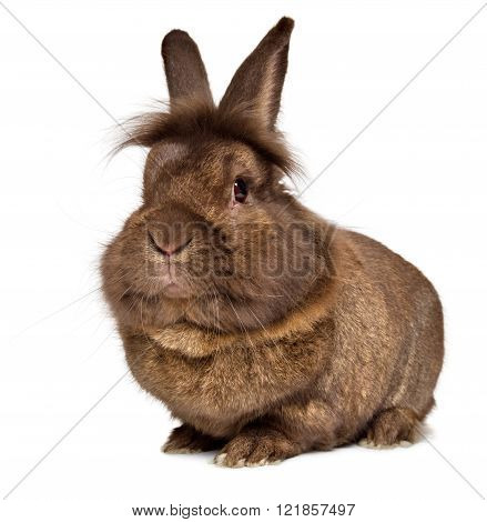 Funny Big Head Chocolate Colored Lionhead Rabbit