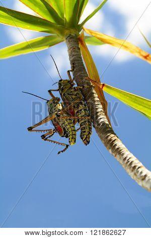 two grashopper