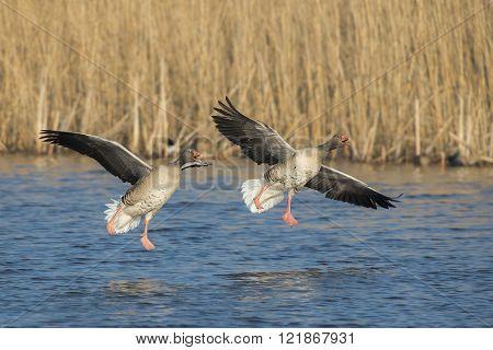 Two Greylag Goose
