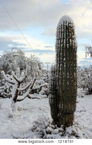 Winter Cactus
