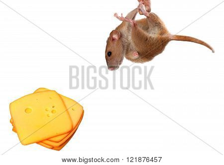 Fancy rat hang on finger and looking at slices of cheese. Isolated on white background with copy space.