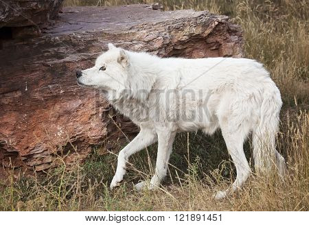 Profile image of a grey wolf, or timber wolf looking upward.