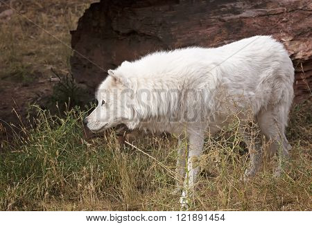 Grey wolf, watches cautiously.  Autumn in South Dakota.