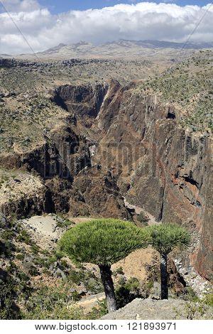 Dragon tree - Dracaena cinnabari - Dragon's blood - endemic tree of Socotra island
