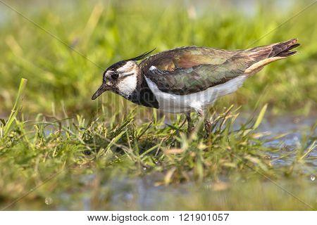 Pecking Female Northern Lapwing