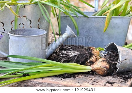 uprooting flower bulbs in front of metal pots