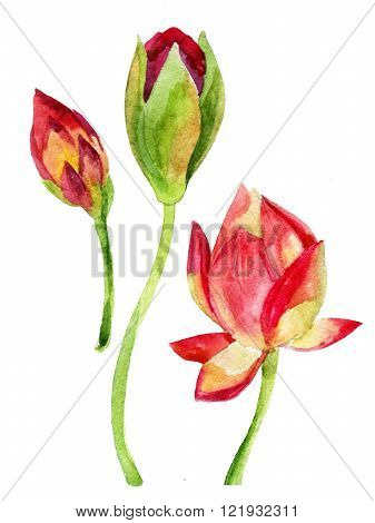 Hand painted lotus flower with buds. watercolor illustration