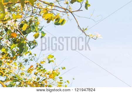 mountain ebony or bauhinia variegata flower and sky background