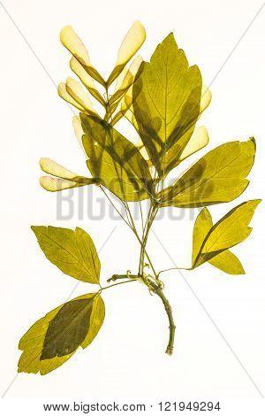 Illuminated herbarium of Acer negundo seeds and leaves isolated on white background.