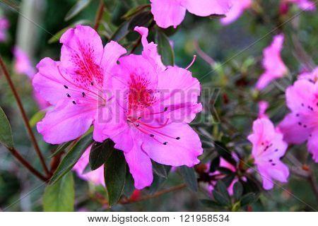 image of purple azalea flowers in the garden