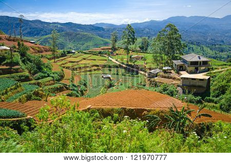 Tea plantations in the highlands of Sri Lanka (Ceylon)