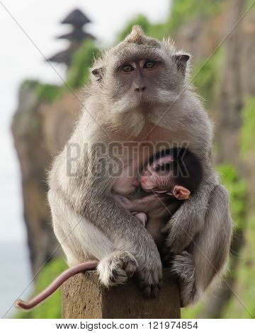 Lactation monkey on a background of rocks and a Buddhist temple