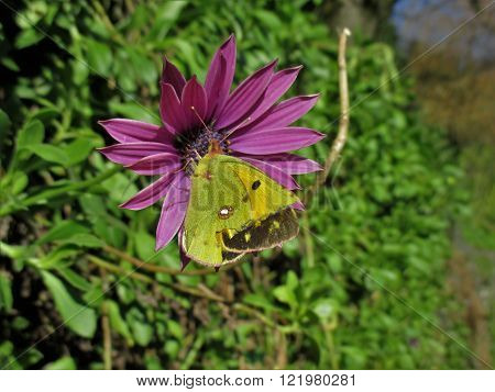 green butterfly on a lila flower during spring