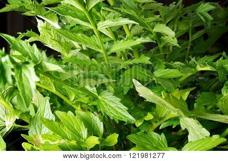 Eye level view of lush Valerian plant leaves growing in home garden root is used for medicine.