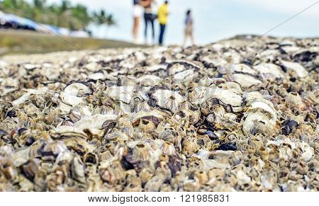 Selective focus of fossil barnacles and sea shells on the beach. Pattaya beach, Thailand